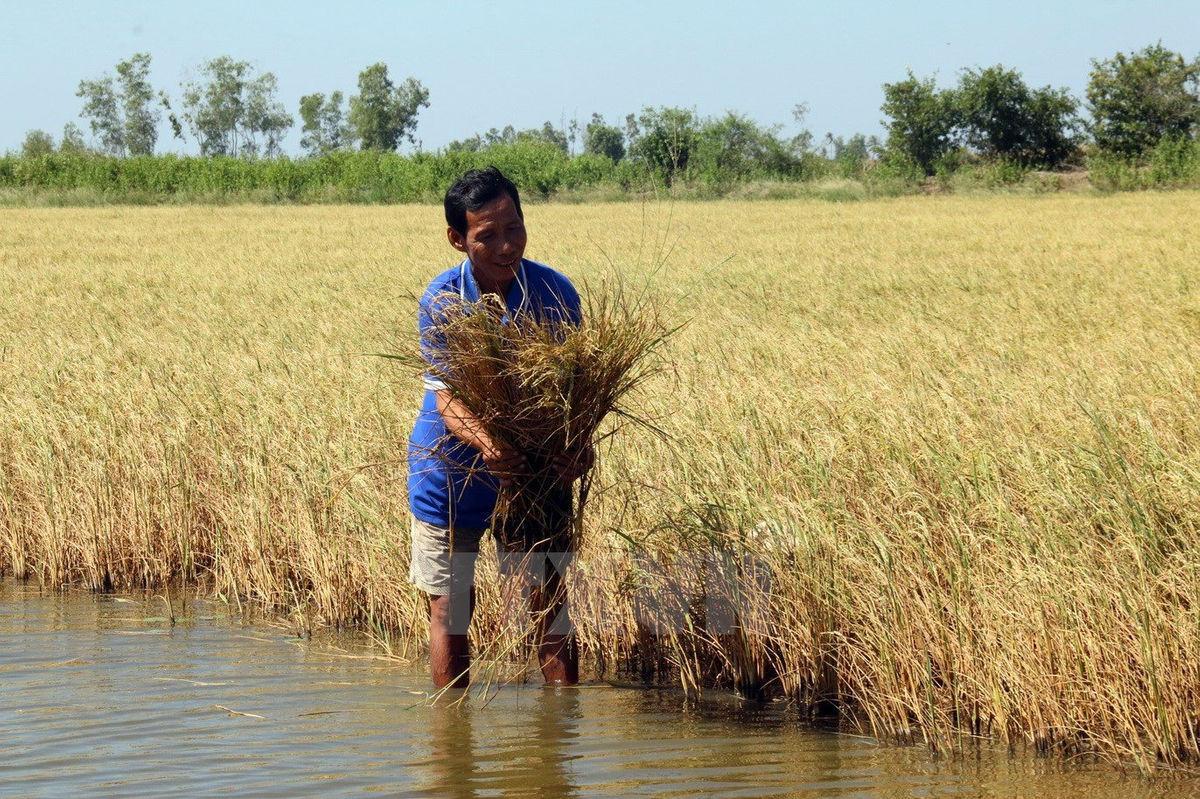 Nước nhiễm mặn ảnh hưởng lớn đến trồng trọt