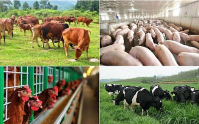 Vật nuôi phát triển tốt nhờ sử dụng hệ thống lọc tổng trong chăn nuôi.